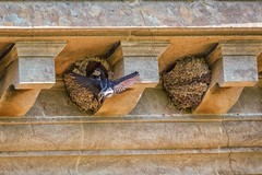House Martins-8 (cj.holder) Tags: 2016 birds canon70d croomecourt housemartins nests sandstone worcestershire