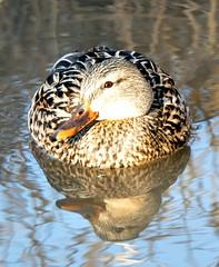 Mama Mallard (vic.devo) Tags: reflection spring mallard sigm170500mm