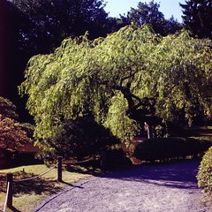 Willow Tree, Japanese Gardens, Seattle, WA (Carlos Cruz Trabanino) Tags: seattle park color tree tlr film garden japanese kodak slide mat willow 124g transparency wa plus epp ektachrome e6 yashica reversal arista 80mmf35yashinon carloscruzphotography rapide6