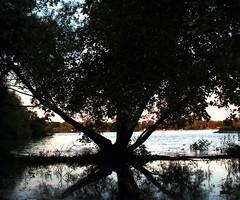 Spread Treegle (antennastokendra) Tags: park summer reflection water leaves spread evening elizabeth michigan bark huge sillhouette treegle