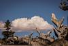 Golden State Death (Cloud Nine Eagle) Tags: california clouds bokeh deadtree yosemitenationalpark treetrunks canonprimelens californiadeadtree markdando canon133mmf20 treestumpsbrightclouds rembrandtphotographicartist