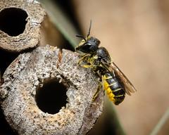 Heriades truncorum (mickmassie) Tags: hymenoptera insecta megachilidae apoideabeeswasps gardentq209783