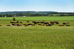 Many Head (pokoroto) Tags: summer canada animal june landscape cattle head many alberta 6 2015   minazuki   rokugatsu monthofwater 27