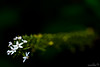Void II (saeah_lee) Tags: flowers flower nature blackbackground contrast outside outdoor korea depthoffield wildflowers void southkorea wildflower chiaksan wonju