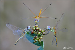 Sympetrum fonscolombii (tris) (alfvet) Tags: macro nature dragonflies ngc natura npc libellule insetti greatphotographers sigma150 veterinarifotografi