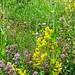 Wuerttemberg - Crailsheim: wild flowers