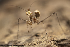 sibylla pretiosa 4th instar (jamesdunbar42) Tags: praying mantis insect wildife nature animal animals macro 60mm extensiontube predator nikon d300s