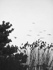 MIGRATION (didi tokaoui) Tags: didi tokaoui photo migration birds oiseau black and white noir et blanc