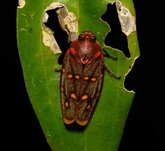Froghopper (Phymatostetha sema, Cercopidae) (John Horstman (itchydogimages, SINOBUG)) Tags: insect macro china yunnan itchydogimages sinobug bug hopper froghopper hemiptera cercopidae black entomology