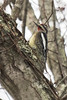 Yellow-bellied Sapsucker (J.B. Churchill) Tags: allegany birds maryland places taxonomy towncreekaquaduct woodpeckers ybsa yellowbelliedsapsucker