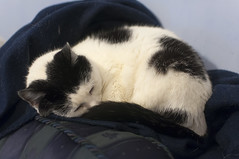 December 19th 2016 - Project 366 (Richard Amor Allan) Tags: cat feline moggy whiskers sleep sleeping blanket ears project366