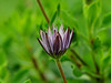 in spite of the weather.....blooming! (fromkmr) Tags: sonya77ii africandaisy gardenflower winterblooms