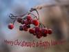 Red berries on a frosty morning........... (Unni Henning) Tags: redberries red frost frostymorning macro closeup nature tree rowanberries warwickshire england bokeh bokehbackground autumn winter morningsun november