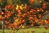 _DSC0362 (Putneypics) Tags: autumn leaves foliage wind tree maple color nature motion putney vermont putneypics acer