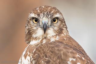 Juvenile Red-tailed Hawk Portrait