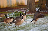 Nature hike (stanzebla - work, eat, sleep) Tags: schlossgartenschwetzingen birds canadagoose bernacheducanada kanadagans brantacanadensis