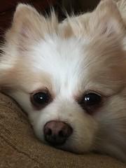 (globarnes1065) Tags: fluffydog sadface pomeranian dog