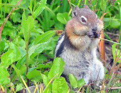 DSC_0732 (rachidH) Tags: squirrel écureuil rodents goldenmantledgroundsquirrel spermophiluslateralis callospermophiluslateralis spermophileàmanteaudoré écureuilterrestreàmanteaudoré spermophileàmanterayée logan pass loganpass westglaciernationalpark montana rockymountains mt rachidh nature