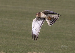 Sod Farm (slsjourneys) Tags: hawk grayghost harrier maleharrier wallkillnj raptor