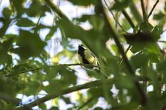 Great Tit - Mésange charbonnière (ghr.photographies) Tags: birds tit mésange wren troglodyte mignon cute roitelet walk wood passereau