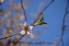 El almendro valiente (esta_ahi) Tags: bellestar ametller almendro almondtree prunusdulcis prunusamygdalus rosaceae flor flora floración flores santamargaridaielsmonjos penedès barcelona spain españa испания