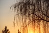 (colorinspirit) Tags: sunset willow tree branches sun goldenhour warmcolors