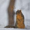 Squirrel Pauses While Digging Under Snow (dcstep) Tags: squirrel uprightpose aurora colorado unitedstates us n7a5984dxo cherrycreekstatepark canon5dmkiv ef500mmf4lisii nature urban urbannature snow snowing cold allrightsreserved copyright2017davidcstephens dxoopticspro1131 foxsquirrel