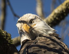 Ive got my eye on you (Canuck Chick) Tags: lickman baldeagle vedderriver chilliwack baldy eyes blue tree britishcolumbia