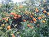 Italy - Liguria - Near Santa Margherita Ligure - Oranges (JulesFoto) Tags: italy centrallondonoutdoorgroup clog ligure santamargheritaligure oranges