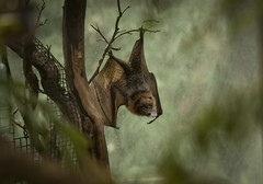 Bat (shottwokill) Tags: bat nikon flyingfox 200500 mammals nikkor vampire d800 wings safaripark sandiego animals lowlight waking fruitbats