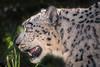 Penny's Profile (helenehoffman) Tags: pantherauncia centralasia mammal sandiegozoo feline conservationstatusendangered endangered carnivore animal