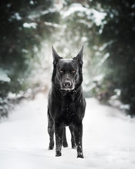 Danger! (DigitalBite) Tags: dog dogphotography blackgsd black germanshepherddog k9 hunde snow winter dangerous depthoffield eyes striking animal outdoor