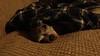 Gregg knows cozy... (Pahz) Tags: hereios werehere wah wh cozy toasty warm chihuahua bluechihuahua dog
