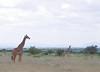 IMGP7576b (Micano2008) Tags: kenia africa amboseli parquenacional pentax mamifero giraffacamelopardalis jirafa