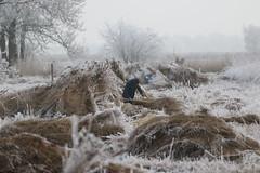 Winter (NLHank) Tags: caonon eos 7d eos7d nlhank winter rijp nederland netherlands holland wieden rietsnijder riet