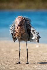 My Monday Morning Messy Makeover (ac4photos.) Tags: egret reddishegret bird nature wildlife animal shorebird beach shore gulf florida desoto birdphotography naturephotography wildlifephotography aniamalphotography beachphotography shorebirdphotography nikon d500 tamron ac4photos ac