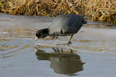 Hard Water (Team Hymas) Tags: coot ice water cold ridgefield washington wildlife refuge