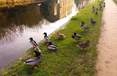 Shall we get in ? (rustyruth1959) Tags: iphone5s mytholmroyd calderdale yorkshire canal water towpath grass reflections rochdalecanal tree building duck outdoor mallard male female beak feathers path green feet orange