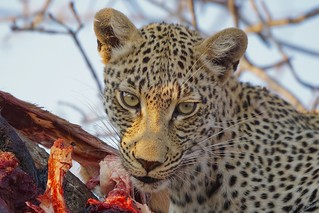 the enchanting Eyes of a female Leopard