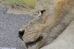 Male Lion (artabracelta) Tags: lion leon male macho foto fotografia forest africa southafrica summer sudafrica nikon d5100 safari tamron 70300 teleobjetivo animal naturaleza nature portrait retrato kruger satara skukuza camps