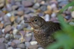 Peekaboo (ArtGordon1) Tags: bird nature birds feathers ornithology blackbird davegordon davidgordon artgordon1 daveartgordon daveagordon davidagordon