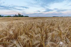 Chaud et froid (photosenvrac) Tags: nature culture paysage champ beauce cereale thierryduchamp