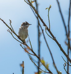 Life is worth Singing About (kitwilliams91) Tags: uk nature birds wales canon 5d warbler rspb markiii cettiswarbler newportwetlands