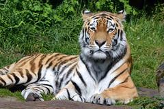 Siberian Tiger (Truus & Zoo) Tags: animals germany deutschland zoo endangered siberiantiger tiergarten mnster duitsland dierentuin allwetterzoo pantheratigrisaltaica amurtiger sibirischertiger siberischetijger