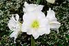 CW180 Longwood Gardens Flowers (listentoreason) Tags: usa white plant flower color nature america canon unitedstates pennsylvania favorites places longwoodgardens magnoliophyta angiosperm ef28135mmf3556isusm score30 plantpart