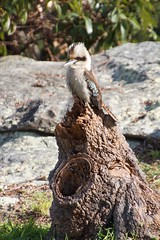 The King on his throne (Val in Sydney) Tags: bird george head australia nsw oiseau kookaburra australie