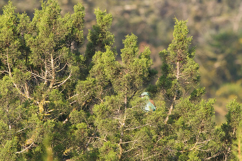 European roller in a juniper