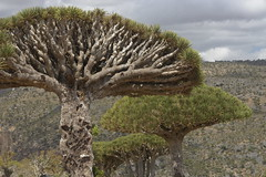 yem_1457 (Peter Hessel) Tags: yemen socotra soqotra jemen dragonbloodtree dracaenacinnabari diksamplateau