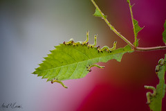rose sawfly larvae (arash_rk) Tags: green rose bug arash worm larvae     sawfly  karimi   razzagh