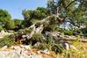 Olive Gardens of Lun (Ladislav Blažek) Tags: croatia strom pag lun krajina chorvatsko 1224mmf4 nikond300s